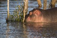 Hippo (Hippopotamus amphibius), iSimangaliso Wetland Park