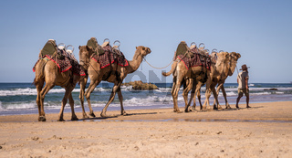 Tourist guide walking camels on beach in Australia