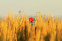single red poppy in wheat field ( Papaver rhoeas )