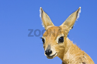 Steinboeckchen (Raphicerus campestris), Namibia, Afrika, Steenbok, Africa