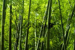 Asian bamboo tree