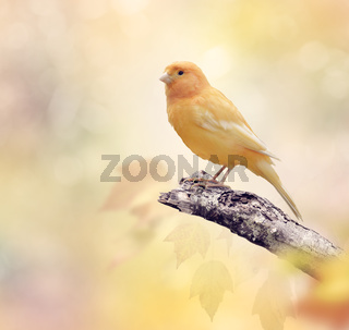 Wild Canary on a branch