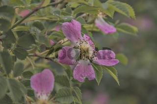 Hecken- oder Hundsrose (Rosa canina)