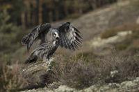 exited... Great Grey Owl *Strix nebulosa*