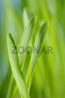 Barley seedlings