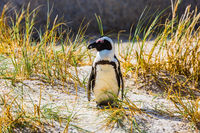 Penguin in the grass