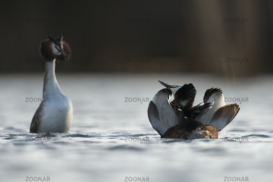 beautiful courtship... Great Crested Grebes *Podiceps cristatus*
