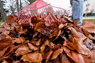 Laub harken. Blätter entfernen. Gartenarbeit im Herbst.