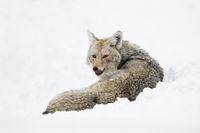 licking its tongue... Coyote *Canis latrans*