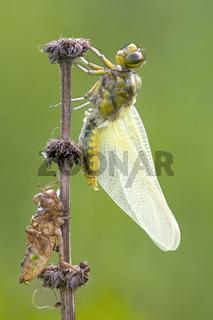 Junge Libelle / Libelle beim Schlupf