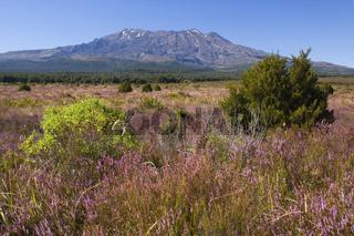 Mount Ruapehu, Mount Ruapehu, der hoechste Berg auf der Nordinsel, erhebt sich aus der Ebene, die jetzt im Herbst von bluehendem Heidekraut bedeckt ist, Tongariro Nationalpark, Nordinsel, Neuseeland, Mount Ruapehu, blooming heather in autumn with Mount Ru
