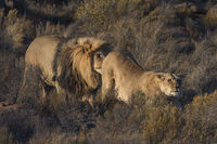 Lion (Panthera leo), Aquila Private Gamereserve,