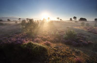 misty summer sunrise over flowering heather