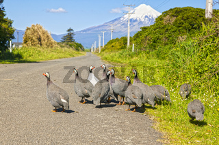 Guinea Fowl, Taranaki, New Zealand