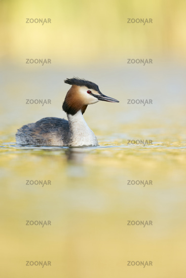 in sunshine... Great Crested Grebe *Podiceps cristatus*