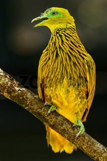 Golden dove sitting on a tree, Viti Levu Island, Fiji