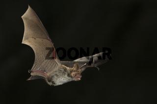 Bechstein_Fledermaus, Myotis bechsteinii, bechsteins bat