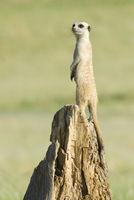 Erdmaennchen, Suricata suricatta, meerkat