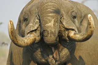 Trinkender afrikanischer Elefant (Loxodonta africana) an einem Wasserloch, Savuti, Chobe-Nationalpark, Botsuana, Afrika, Trinking african elephant (Loxodonta africana) at a waterhole, Savuti, Chobe NP, Botswana, Africa