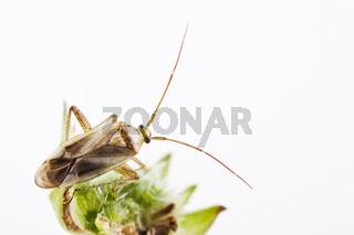 Weichwanze (Adelphocoris lineolatus) - Grass bug (Adelphocoris lineolatus)