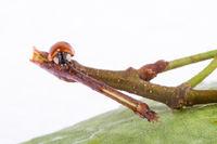 Ladybug on a leaflet.