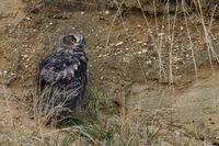 backside view... Eurasian Eagle Owl *Bubo bubo*