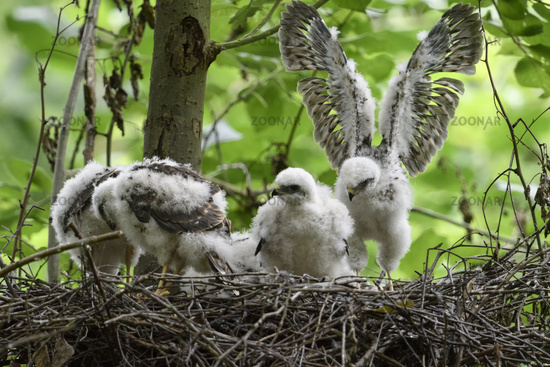 moulting chicks getting fledged... Eurasian Sparrowhawks *Accipiter nisus*