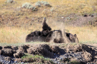 Bison beim  Staubbad