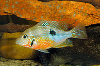 Mexican Fire Mouth (Thorichthys ellioti) - female