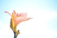 Single pink lily