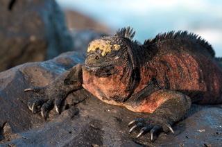 Sonnenbad einer Galapagos Echse