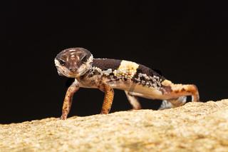 The East Indian leopard gecko, Eublepharis hardwickii. Eastern Ghats of Vaizag, Andhra Pradesh, India