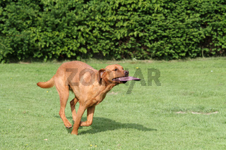 Labrador mit Frisbee