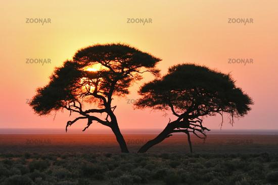 Acacia at sunrise, Etosha National Park, Namibia, Africa