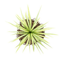 top view of yellow yucca plant isolated on white background