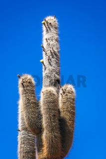 Larga cactus from Bolivia