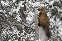 always attentive... American pine marten *Martes americana*