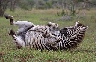 Wälzendes Steppenzebra, Südafrika, South Africa, Plains Zebra, Perissodactyla, Equus quagga