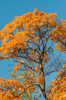 Autumn orange vivid mapple tree leaves with the blue sky background