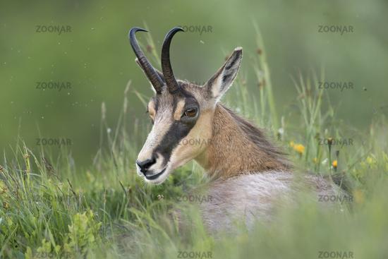 resting... Alpine Chamois *Rupicapra rupicapra*