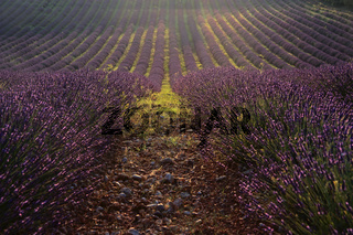 Lavendel, Plateau Valensole, Provence, Frankreich