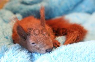 Baby Eichhörnchen