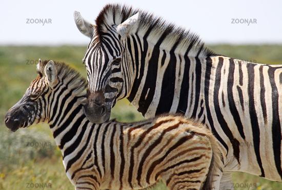 Plains Zebras, Namibia, Etosha