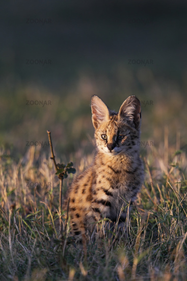 Young serval cat