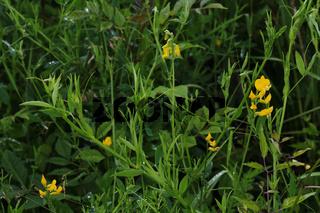 Meadow vetchling, Lathyrus pratensis, Wiesenplatterbse