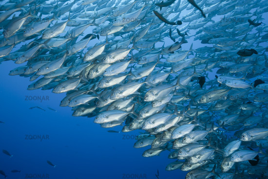 Grossaugen-Stachelmakrelen im Schwarm, Caranx sexfasciatus, Blue Corner, Mikronesien, Palau, Bigeye Trevally schooling, Micronesia