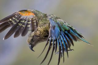 Kea, Nestor notabilis, im Flug kurz vor der Landung. In dieser Flugphase sind seine buntes Schwungfedern, die in leuchtendem Rot, Gruen und Blau leuchten, gut zu erkennen. Der Kea ist der einzige Bergpapagei der Welt. Er ist endemisch zu Neuseeland und be