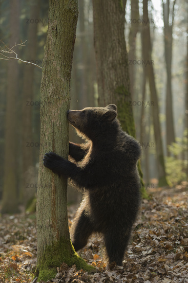 Winnie Puuh... European Brown Bear *Ursus arctos*