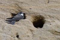 watching... Sand Martin / Bank Swallow  *Riparia riparia*