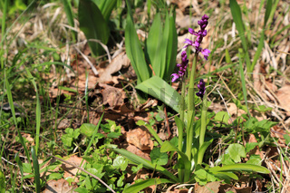 Mannsknabenkraut, Early purple orchid, Orchis mascula